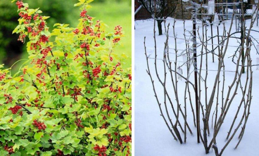 Куст красной смородины летом и зимой