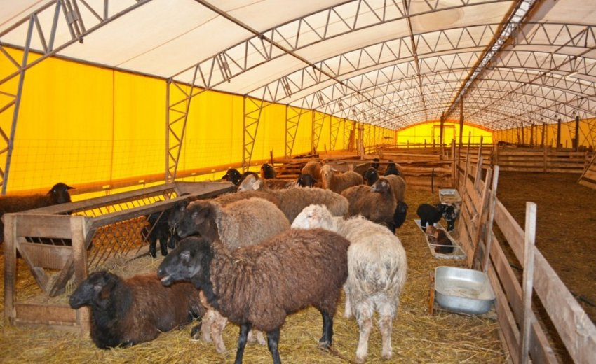 Содержания курдючных овец