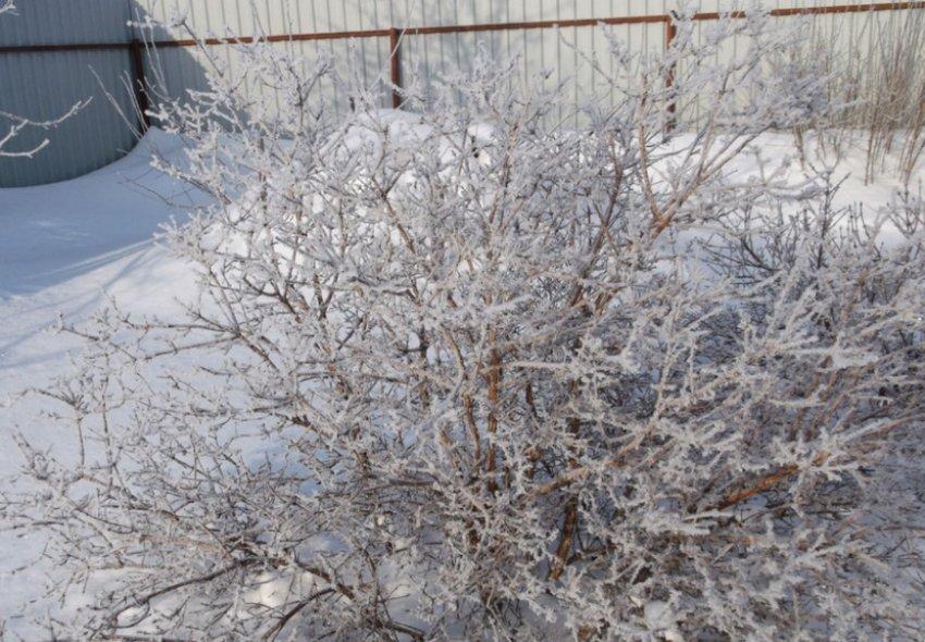 Зимовка смородины