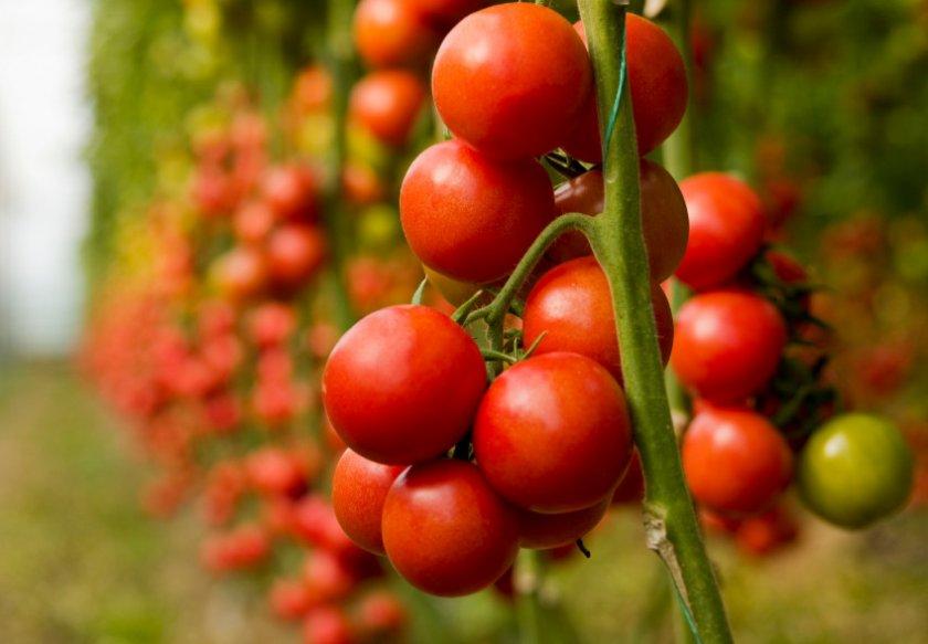 Урожай помидоров сорта Дубок