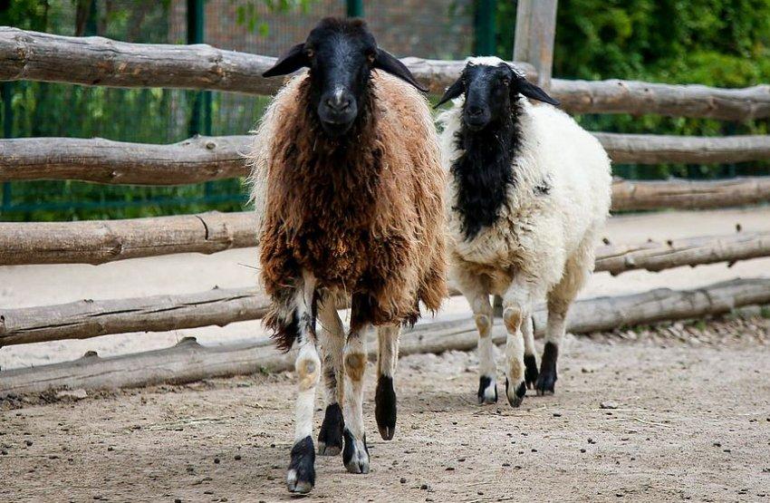 Разведение курдючных овец